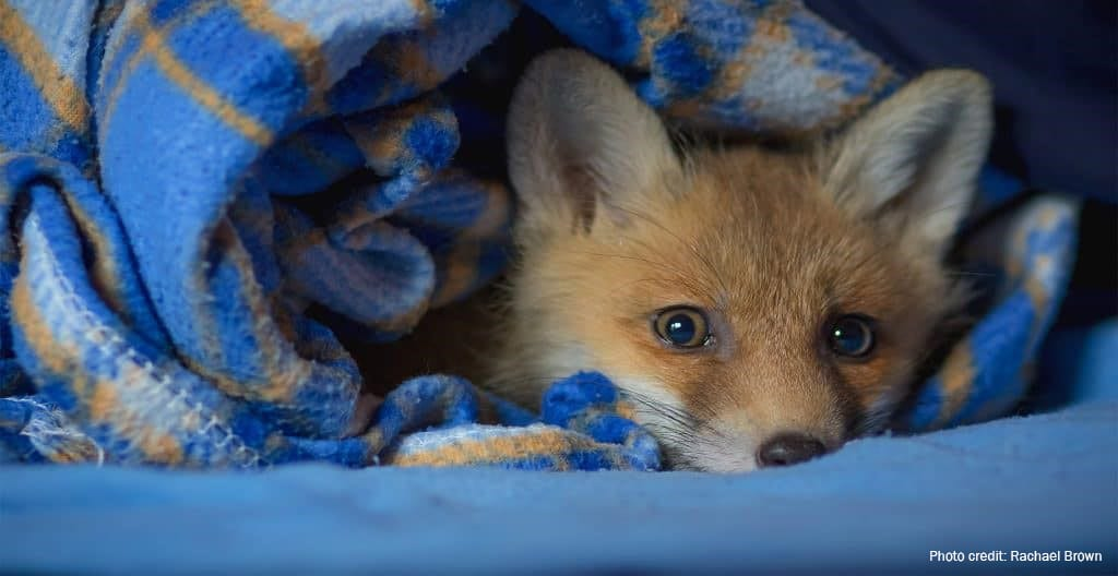 Rescued fox | Photo credit: Rachael Brown