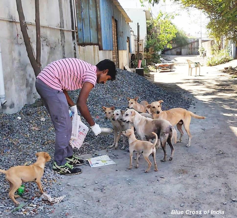 Blue Cross of India volunteer feeding street dogs.