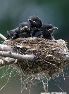 Nest of infant crows
