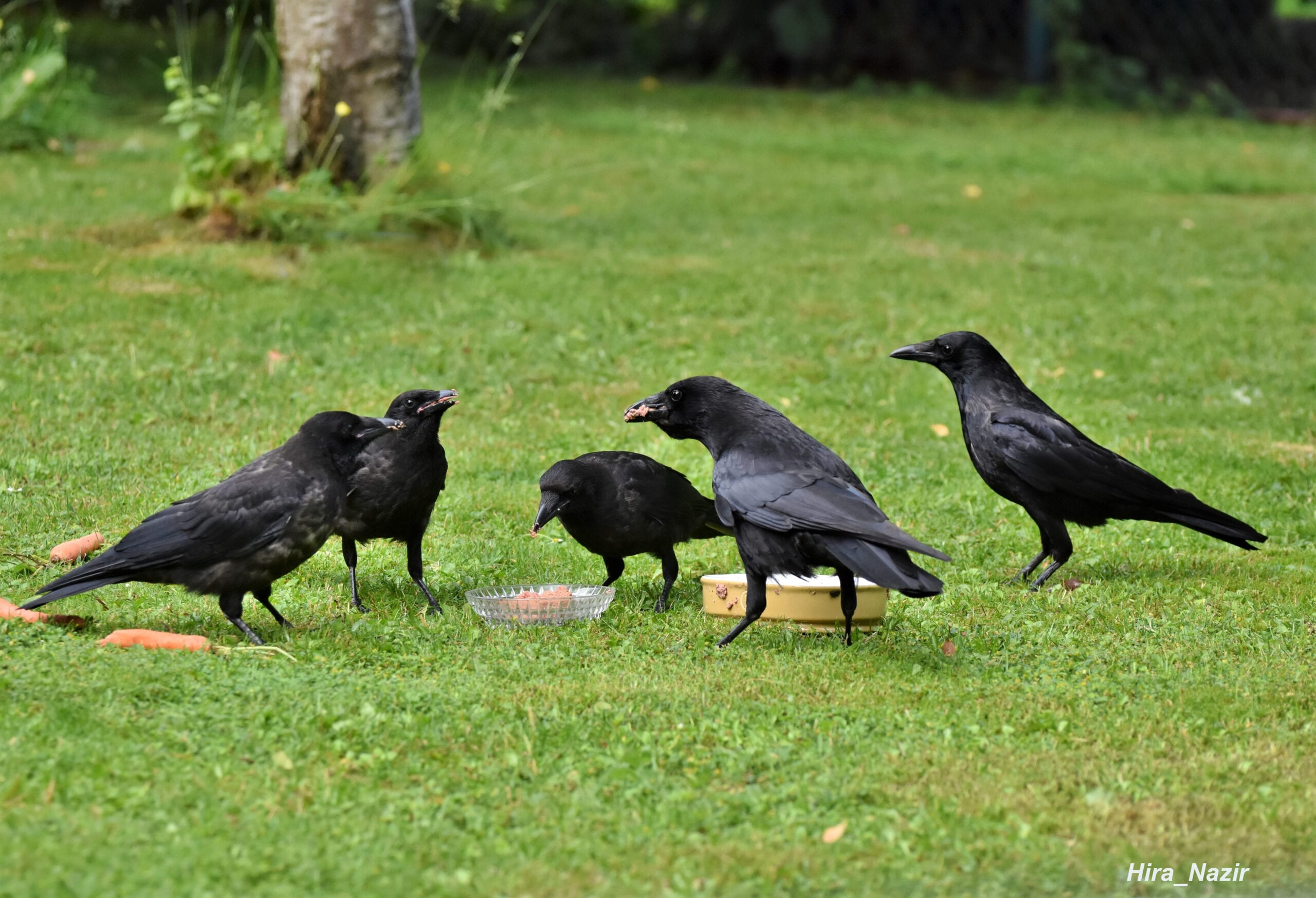 Crow Family | photo credit: Hira_Nazir