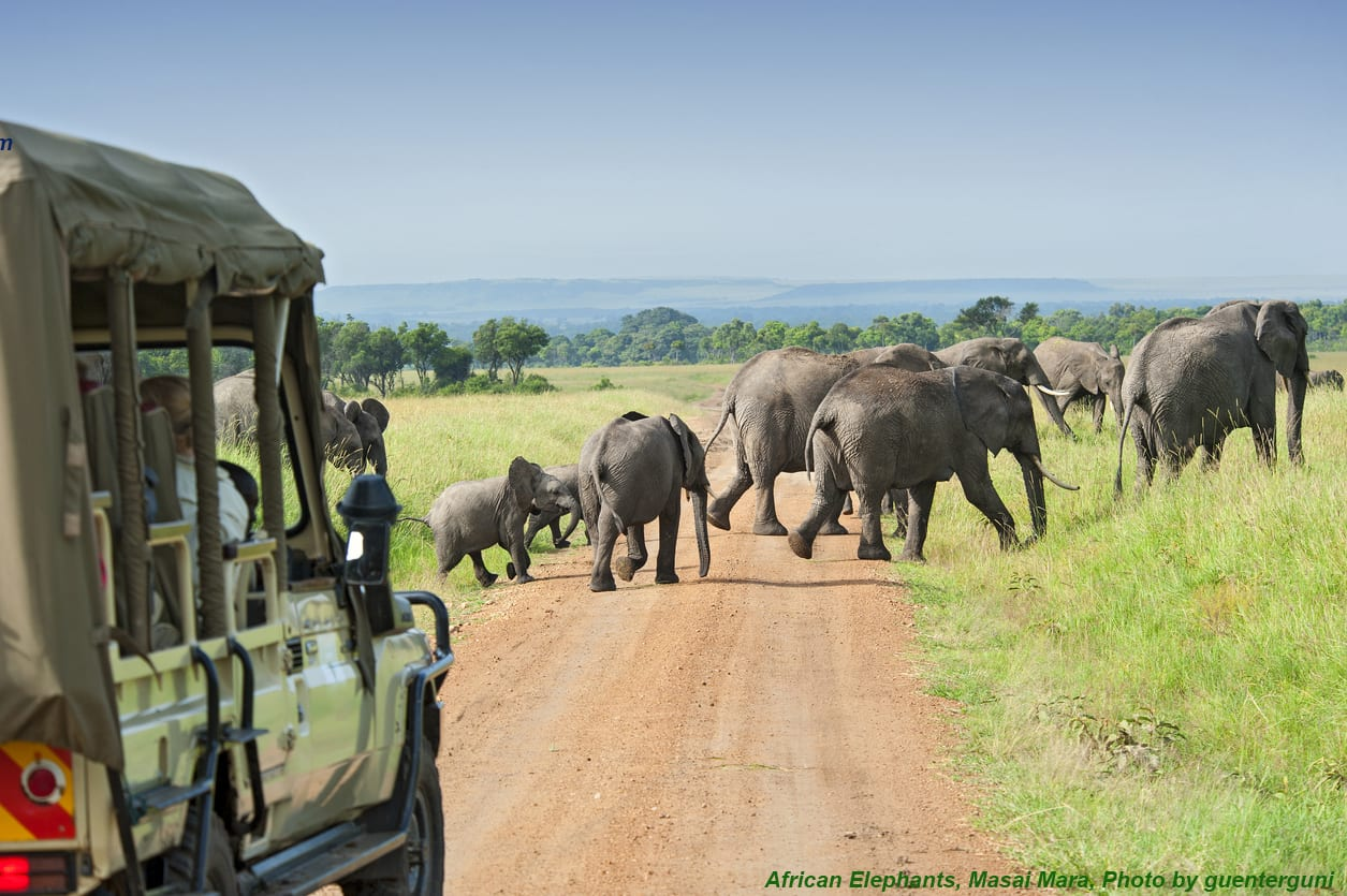 African elephants Masai Mara