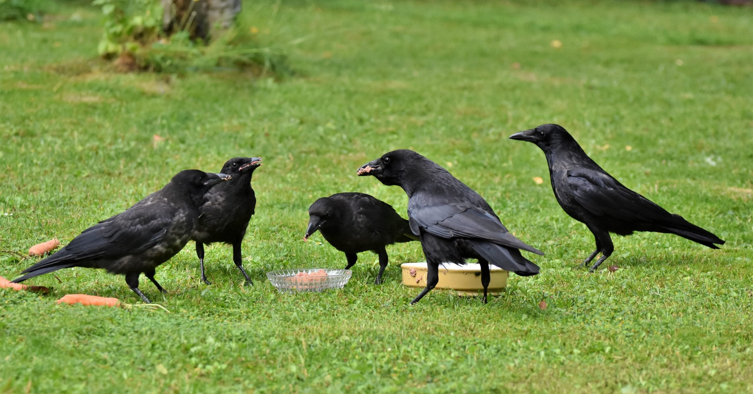 Family of Crows