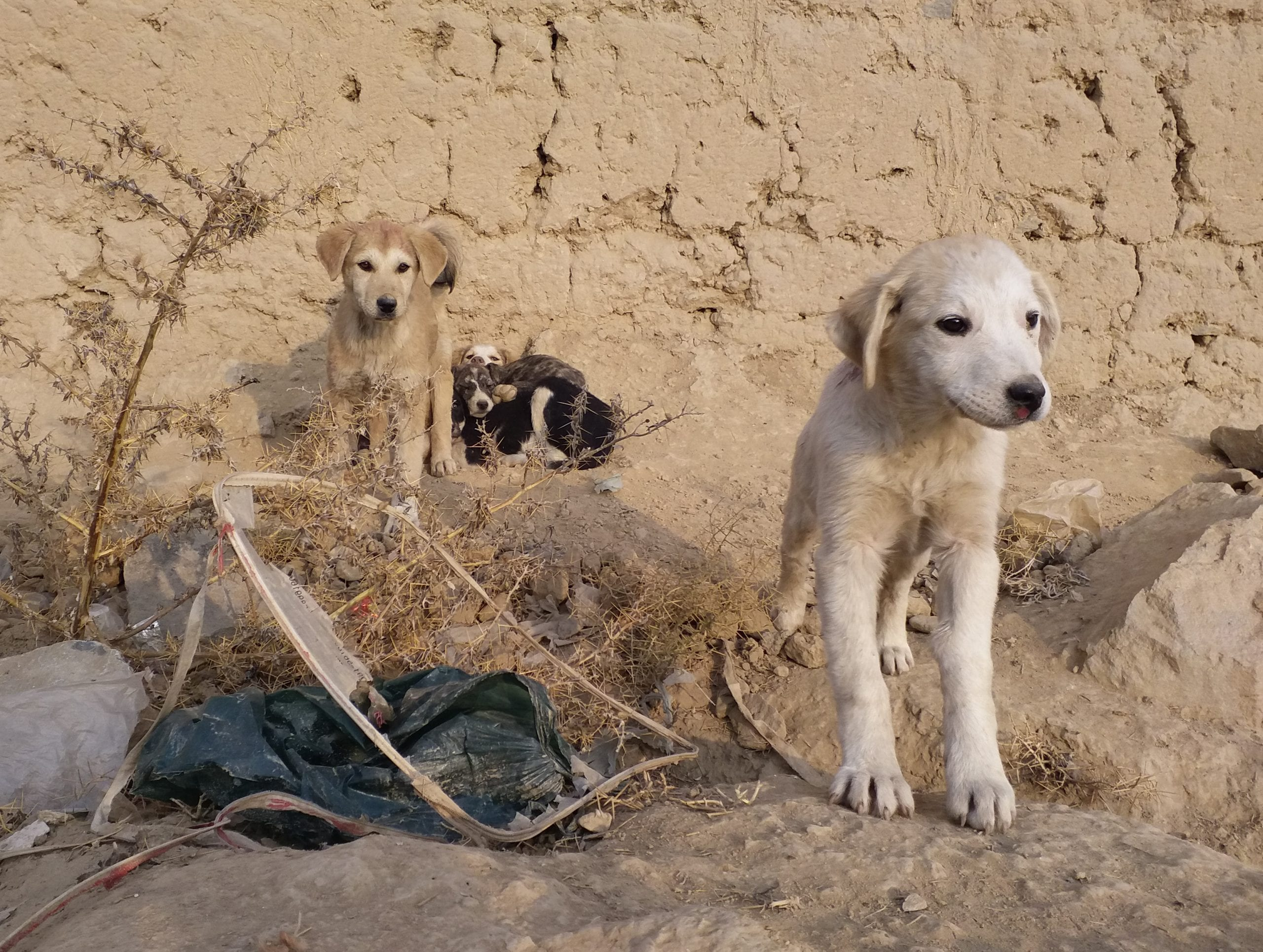 Mayhew puppies in Kabul