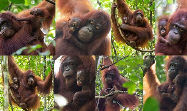 Photos of 2 female orangutans and their babies