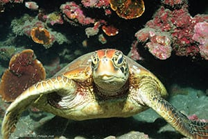 While diving on a coral reef in Tahiti, French Polynesia, we crossed a hawksbill turtle resting on a ledge of the coral reef, about 20 meter deep. Once it noticed us, it turned towards us to check us out