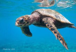 Critically endangered Hawksbill Sea Turtle (Eretmochelys imbricata) in Wildlife