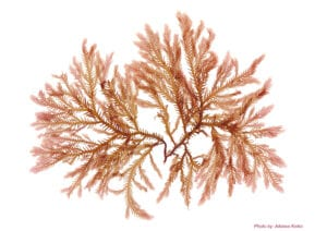 Pressed Seaweed