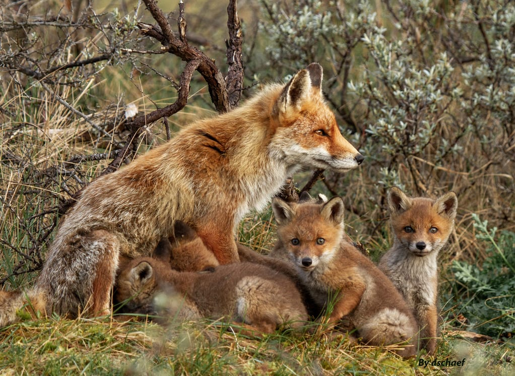 An image of a family of foxes, with a mother fox and her little ones