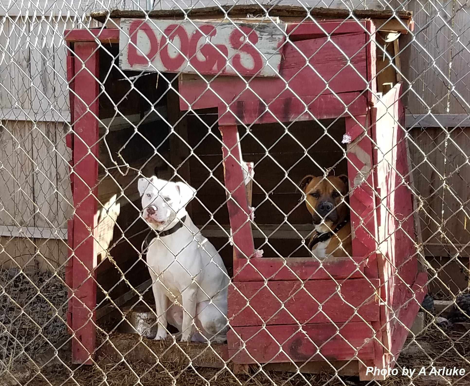 Dog In Fence in Dog House by A Arluke