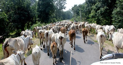 6.To graze or not to graze: Thousands of livestock graze in the forests of Central India leading to poor regeneration of forests (Photo: Dr Naveen Pandey)