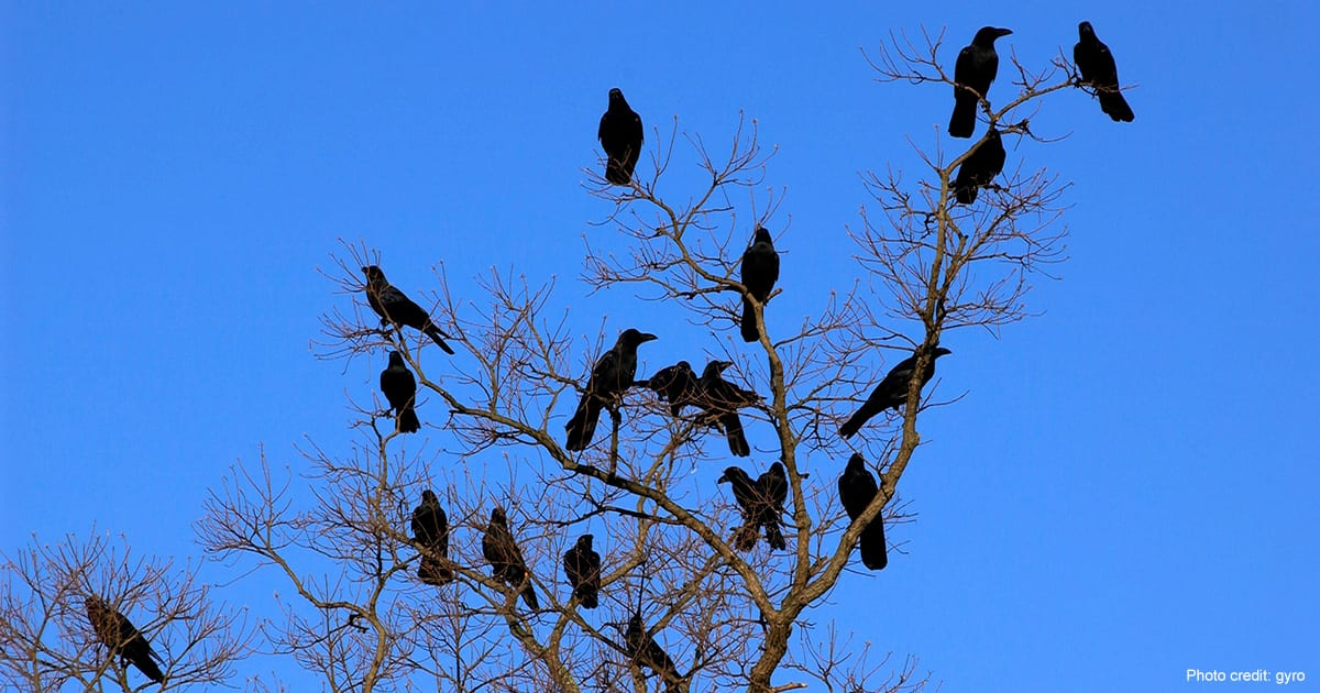 Murder of crows | photo credit: gyro
