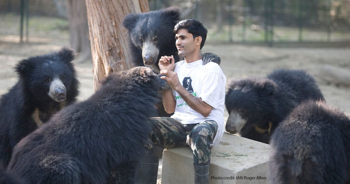 One of the bear keepers at the Bannerghatta Bear Rescue Centre with some of his charges. | Photo credit: IAR/Roger Allen