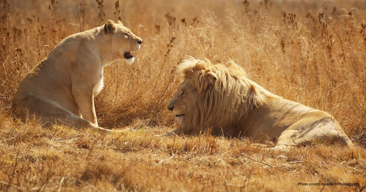 Lions in Krugersdorp, South Africa | Photo credit: Goddard Photography