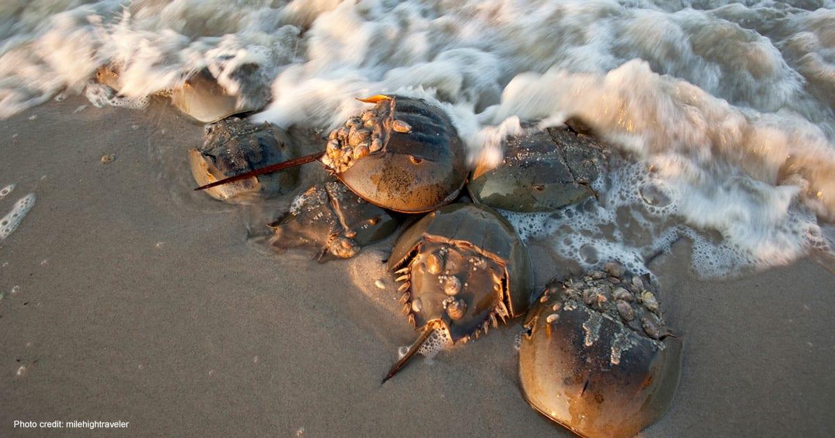 Horseshoe Crab on Slaughter Beach | Photo credit: milehightraveler
