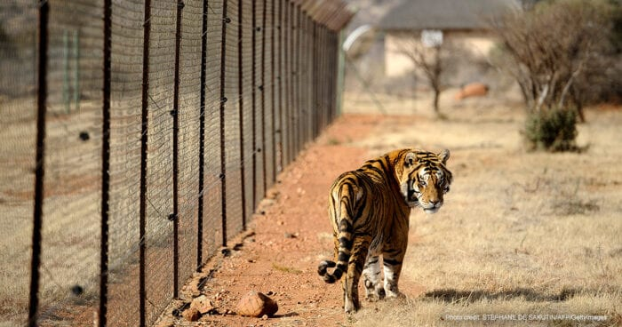 A tiger bred for commercial use in South Africa | Photo credit: STEPHANE DE SAKUTIN/AFP/GettyImages