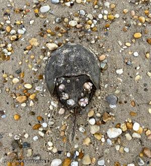 Single horseshoe crab on Slaughter Beach   Photo credit: Laura Gosse