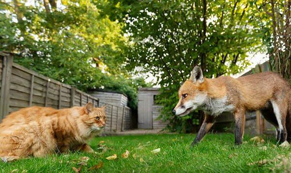 600x400-Domesticated-Fox,-UK,-By-Dgwildlife,iStock-1305647978