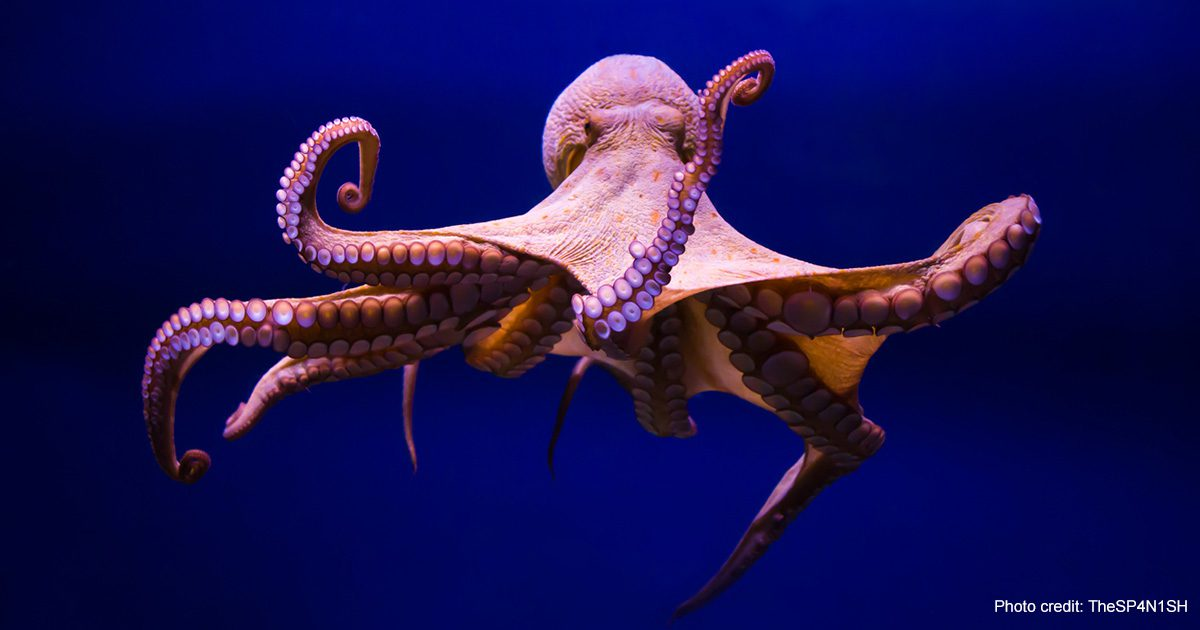 Octopus vulgaris | Photo credit: TheSp4N1SH