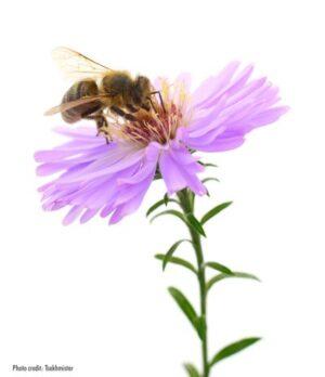 Bee on flower | Photo credit: Tsekhmister