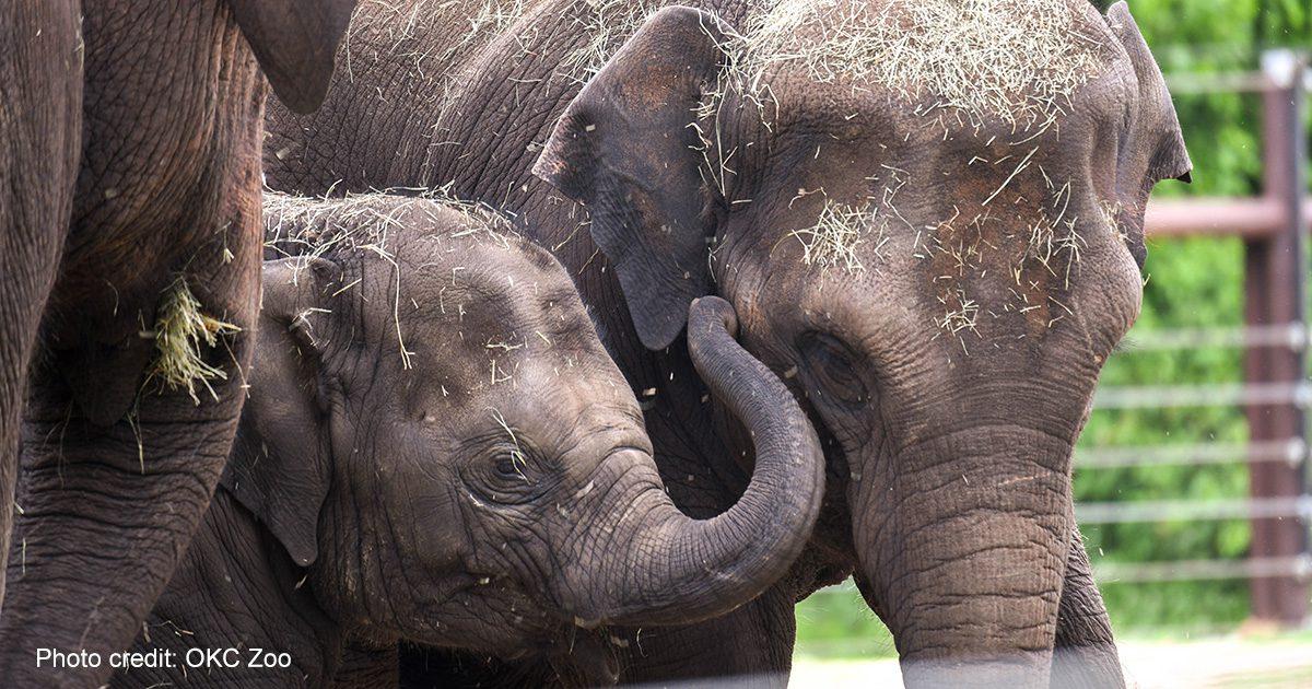 Elephants Kai and Achara at the Oklahoma City Zoo