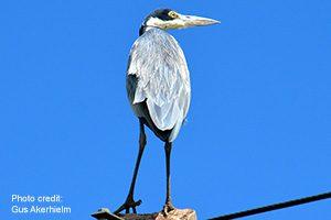 Black-headed heron   Photo credit: Gus Akerhielm