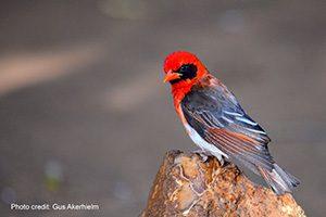 Red-headed weaver male   Photo credit: Photo credit: Gus Akerhielm