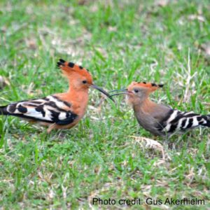 Hoopoes   Adult male with juvenile female   Photo credit: Photo credit: Gus Akerhielm