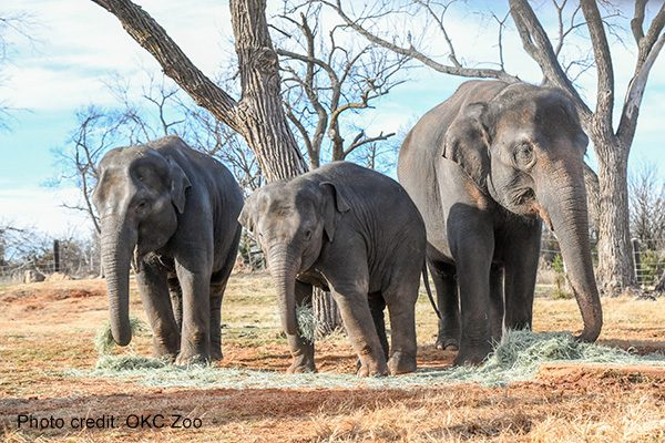 Asian elephants Achara, Kai and Asha