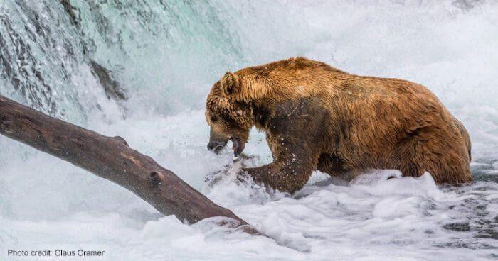 Otis the bear